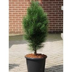 Сосна чёрная «Грин Тауэр» куст Диаметр горшка — 30 см Высота растения — 90 см