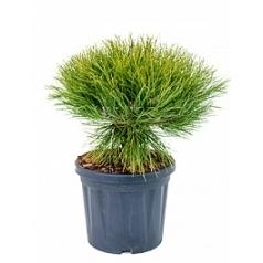 Сосна чёрная «Мари Брегон» куст Диаметр горшка — 22 см Высота растения — 45 см