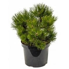 Сосна чёрная «Нана» куст Диаметр горшка — 26 см Высота растения — 55 см