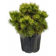 Сосна чёрная «Нана» куст Диаметр горшка — 35 см Высота растения — 80 см