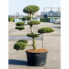 Сосна чёрная «Нигра» бонсай Диаметр горшка — 95 см Высота растения — 250 см