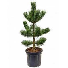 Сосна чёрная «Орегон» green куст Диаметр горшка — 36 см Высота растения — 120 см