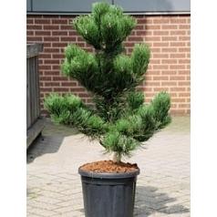 Сосна чёрная «Орегон» green куст Диаметр горшка — 30 см Высота растения — 110 см
