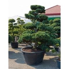 Сосна мелкоигольчатая «Парвифолия» бонсай Диаметр горшка — 120 см Высота растения — 275 см