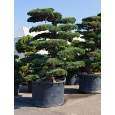Сосна мелкоигольчатая «Парвифолия» бонсай Диаметр горшка — 120 см Высота растения — 320 см