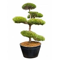 Сосна пиния итальянская бонсай Диаметр горшка — 120 см Высота растения — 280 см