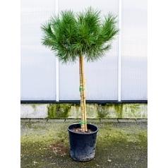 Сосна пиния итальянская стебель Диаметр горшка — 30 см Высота растения — 170 см