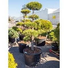 Сосна обыкновенная бонсай Диаметр горшка — 80 см Высота растения — 170 см