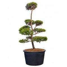 Сосна обыкновенная бонсай Диаметр горшка — 95 см Высота растения — 260 см