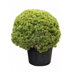 Сосна обыкновенная watereri boll Диаметр горшка — 70 см Высота растения — 120 см