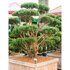 Сосна обыкновенная watereri бонсай Диаметр горшка — 120/120 см Высота растения — 260 см