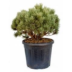 Сосна обыкновенная watereri куст Диаметр горшка — 50 см Высота растения — 100 см