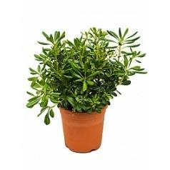 Питтоспорум Тобира куст Диаметр горшка — 26 см Высота растения — 60 см