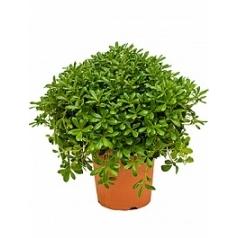 Питтоспорум Тобира nana куст Диаметр горшка — 26 см Высота растения — 60 см
