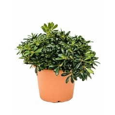 Питтоспорум Тобира nana куст Диаметр горшка — 28 см Высота растения — 45 см