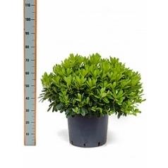 Питтоспорум Тобира nana куст Диаметр горшка — 24 см Высота растения — 35 см