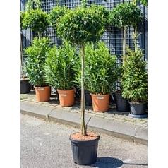 Слива (лавровишня) angustifolia стебель Диаметр горшка — 40 см Высота растения — 190 см