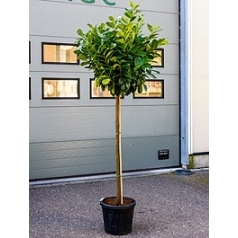 Слива (лавровишня) etna стебель Диаметр горшка — 40 см Высота растения — 200 см