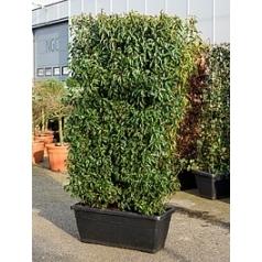 Слива португальская (лавровишня) angustifolia terrace screen Диаметр горшка — 100x45x40 см Высота растения — 230 см