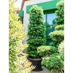 Псеудолиственница amabilis column Диаметр горшка — 100 см Высота растения — 310 см