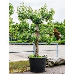Груша Конференция spalier Диаметр горшка — 70 см Высота растения — 200 см