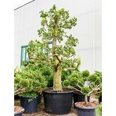 Груша Дойен дю Комис Диаметр горшка — 75 см Высота растения — 250 см
