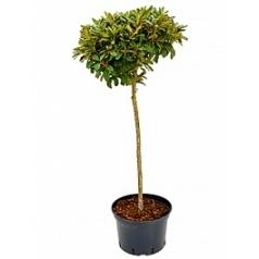 Рододендрон якусиманский lampion стебель red Диаметр горшка — 40 см Высота растения — 150 см