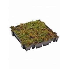 Седум суккулентный tray (live plants) green label  Высота растения — 8 см
