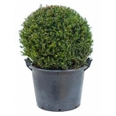 Тисс ягодный шар 60 Диаметр горшка — 55 см Высота растения — 75 см