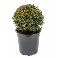 Тисс ягодный boll (25-30) Диаметр горшка — 24 см Высота растения — 45 см