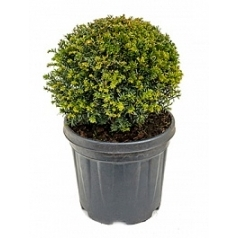 Тисс ягодный boll (30-35) Диаметр горшка — 28 см Высота растения — 50 см
