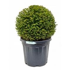 Тисс ягодный boll (40-45) Диаметр горшка — 35 см Высота растения — 70 см