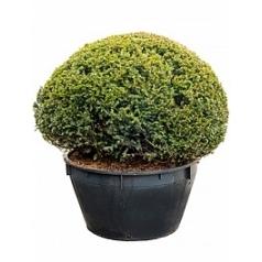 Тисс ягодный boll o125 Диаметр горшка — 120 см Высота растения — 165 см