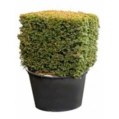 Тисс ягодный cube 90x90 Диаметр горшка — 95 см Высота растения — 135 см