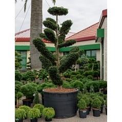 Тисс ягодный dovostonia бонсай Диаметр горшка — 120 см Высота растения — 360 см