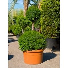 Тисс ягодный duo/шар Диаметр горшка — 65 см Высота растения — 160 см