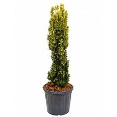 Тисс ягодный aurea column Диаметр горшка — 35 см Высота растения — 120 см