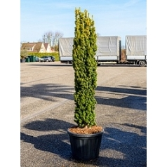 Тисс ягодный aurea column Диаметр горшка — 60 см Высота растения — 240 см