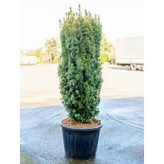 Тисс ягодный david column Диаметр горшка — 65 см Высота растения — 220 см