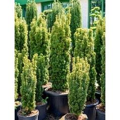 Тисс ягодный david column Диаметр горшка — 50 см Высота растения — 170 см