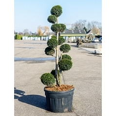 Тисс ягодный multi крона Диаметр горшка — 80 см Высота растения — 250 см