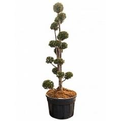 Тисс ягодный multi крона Диаметр горшка — 80 см Высота растения — 260 см