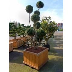 Тисс ягодный overeynderi multi крона Диаметр горшка — 90x90 см Высота растения — 300 см