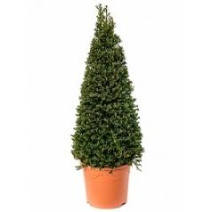 Тисс ягодный пирамида Диаметр горшка — 26 см Высота растения — 120 см