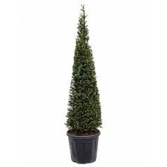 Тисс ягодный пирамида Диаметр горшка — 40 см Высота растения — 170 см