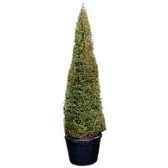 Тисс ягодный пирамида Диаметр горшка — 80 см Высота растения — 300 см