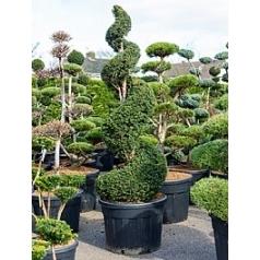 Тисс ягодный спираль Диаметр горшка — 70 см Высота растения — 230 см
