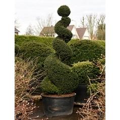 Тисс ягодный спираль Диаметр горшка — 70 см Высота растения — 280 см