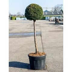 Тисс ягодный стебель/boll Диаметр горшка — 70 см Высота растения — 230 см