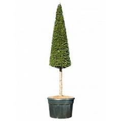 Тисс ягодный стебель/пирамида Диаметр горшка — 85 см Высота растения — 350 см
